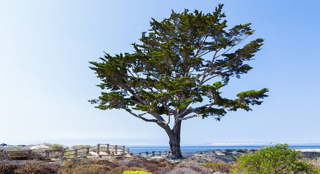 The Monterey cypress is one of the worst trees for Southern California.