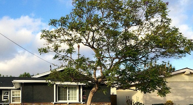 Not a pepper tree, and no longer alive after 20 years on Mount Frissell Drive