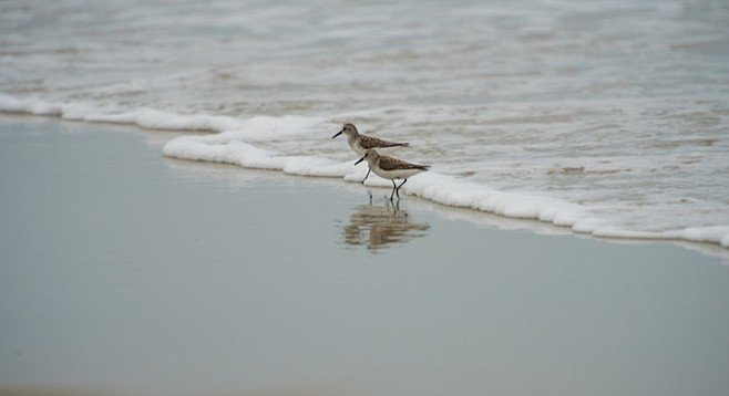 Sandpipers wave-running