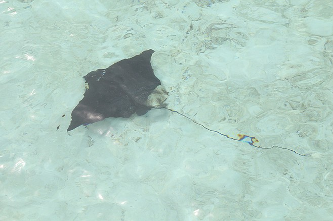 Stingray swimming in the water