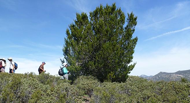 Tecate cypress