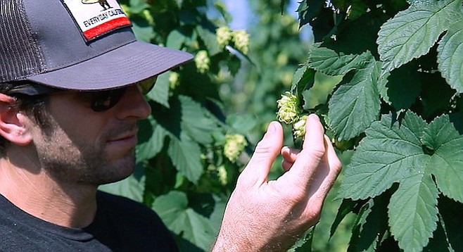 An employee of Pure Project picks fresh hops at SD Golden Hop Farm in Fallbrook.