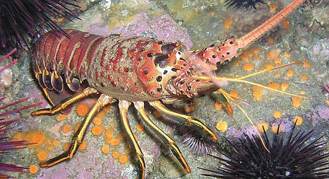 The lobster's strong legs are for long-distance travel.