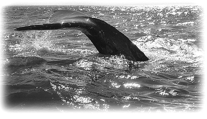 Gray whale, San Ignacio Lagoon, Baja Mexico