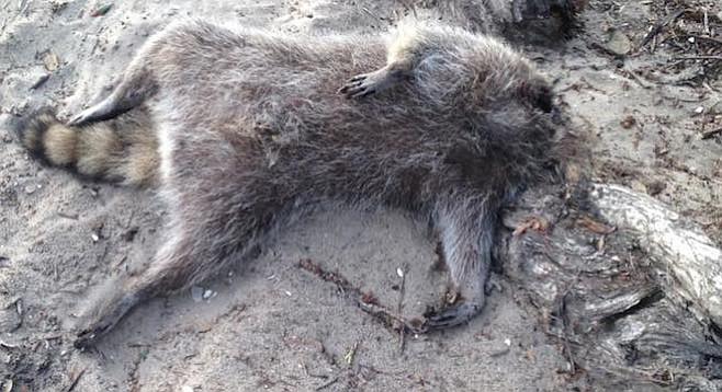 Headless O.B. raccoon