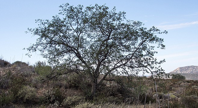 Eagle Peak Preserve is a good place to find Engelmann oaks.