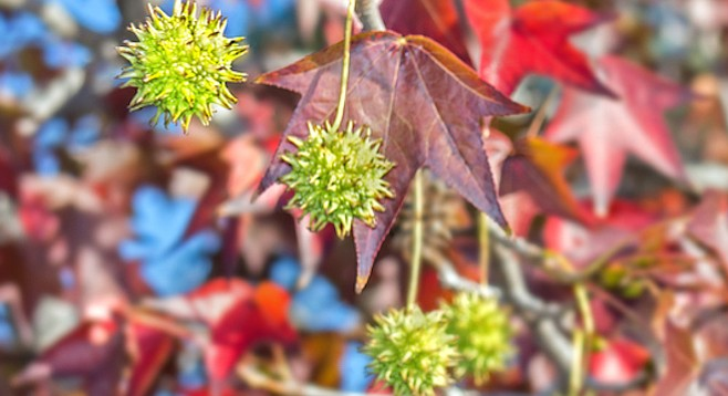 Sweetgum tree with green pods