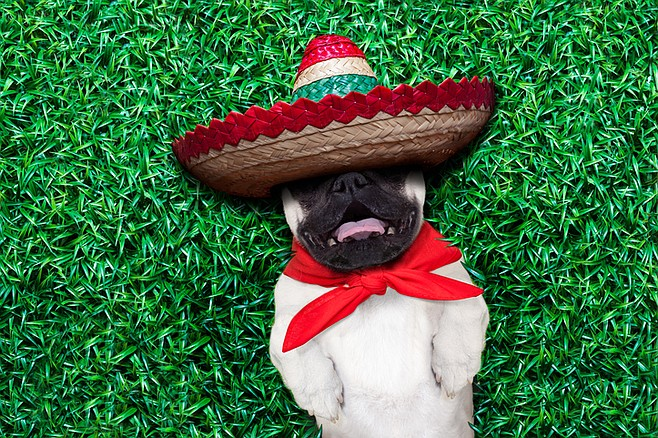 Pugs adopted from Mexico may require an afternoon siesta
