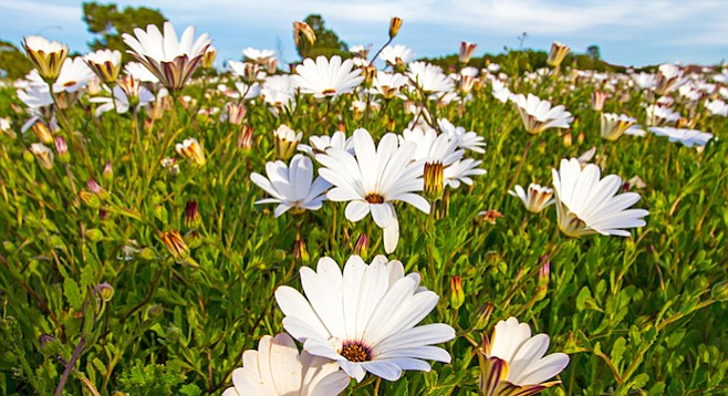 Plant African daisies to prevent soil erosion during heavy rains