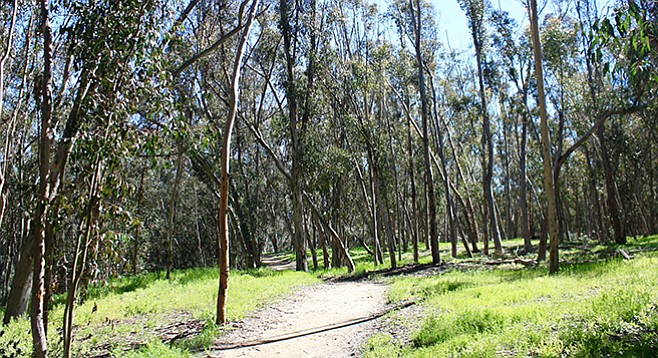 UCSD Ecological Park shows the remainders of a eucalyptus grove that was abandoned around 1950.