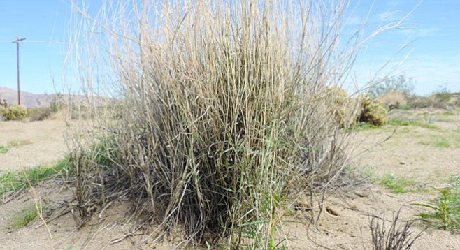 Galleta grass, once an important food source for livestock that foraged in and around Borrego Springs.
