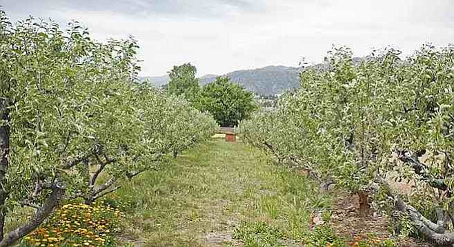 Apple trees at Julian's Apple Lane Orchard