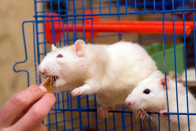 Say those science guys stuffed 100 rats with cheeseburgers and eclairs....