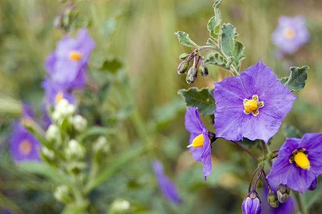 Spring wildflowers like purple nightshade can still be found in cooler coastal enclaves.