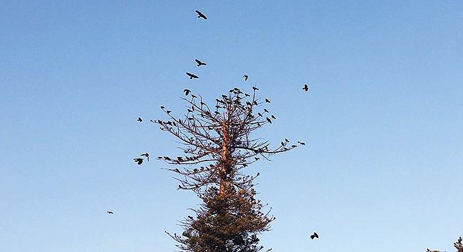 Crows in the Crown of Bones.