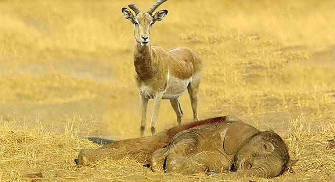 Horned Zoo Filler Strikes Again At San Diego Safari Park San Diego