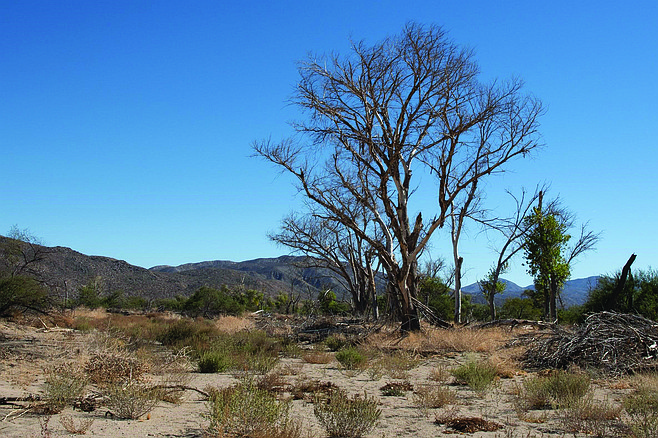 The dead and dying trees in Sentenac Cienega