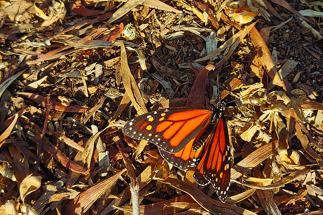 Watch for monarch butterflies on the trail