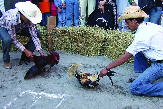 Cock-handler Rodrigo de Gallo (right) prepares to release favored fowl Feathered Glory at the 148th annual Kentucky Cockfighting Championship. The bird won the ensuring battle against opponent Coxcomb-over, but was disqualified after the match when judges ruled that he had used part of the hay bale ring to help elevate himself for a drop-down attack. It marked the first time that a victorious bird had ever been denied the title of King Cock in KCC history.