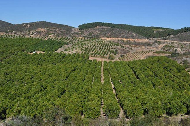 Avocado trees are planted on hillsides so that frosty air will flow downhill away from the sensitive fruit.