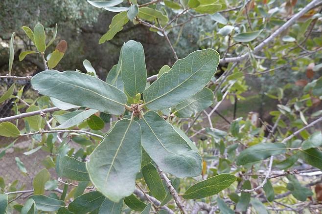 A close-up look at Engelmann oak leaves
