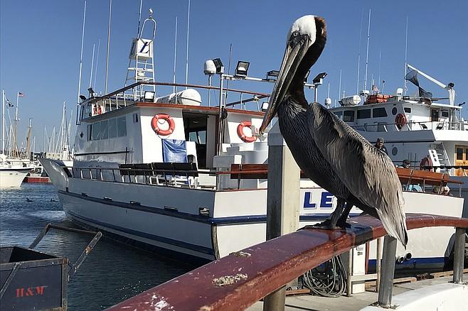 Dockside pelican supervises Legend's debarcation.