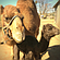 Baby Days at the Oasis Camel Dairy