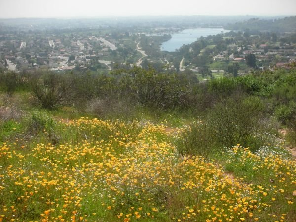 Spring-time California poppies bloom on Cowles Mountain overlooking Lake Murray