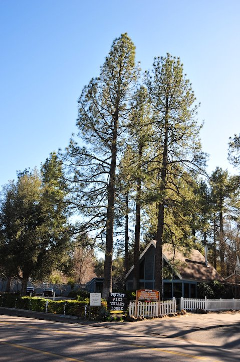 Pines in Pine Valley