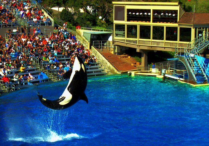 Shamu entertaining at Seaworld.