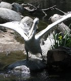 A Pelican stretching its wings at the Wild animal Park.