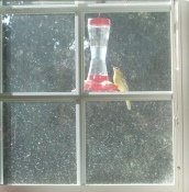 An oriole on our hummingbird feeder outside the kitchen window.