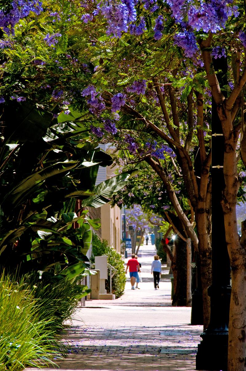 Jacaranda trees in bloom on Ash Street