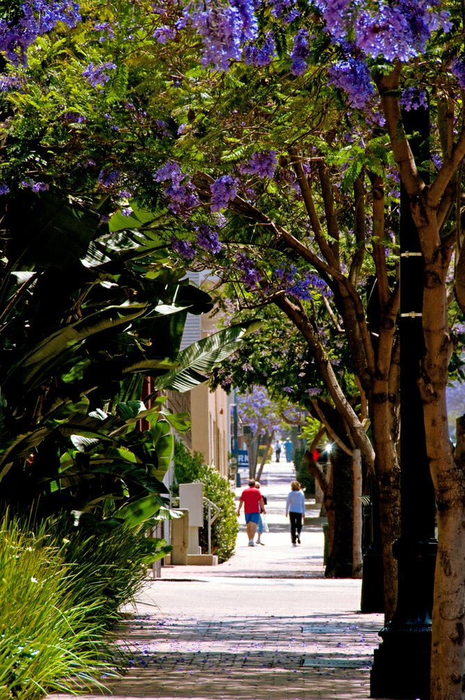 Jacaranda trees in bloom on Ash Street