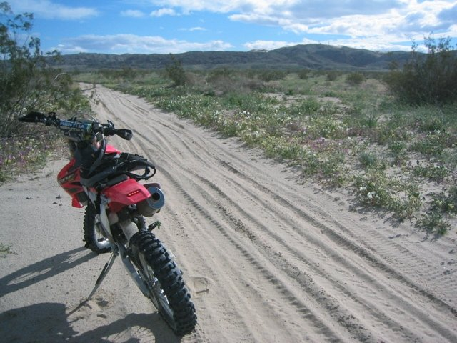 Admiring the beauty of spring flowers in the desert while dirt bike riding in Ocotillo Wells