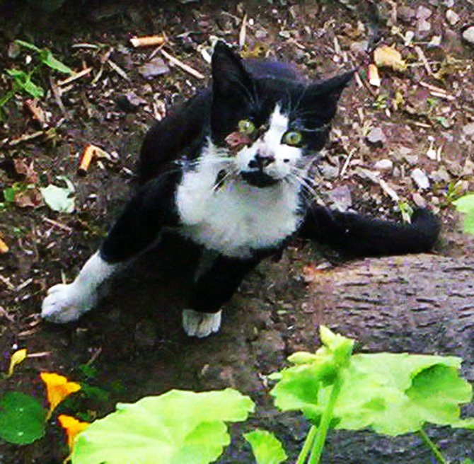 This is feral cat we have living in our apartments who loves to play in the garden. We call him Sylvester the cat.