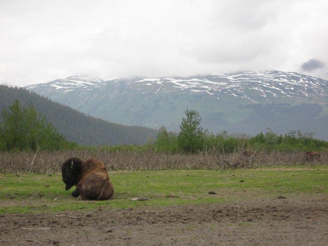 Bison bull keeping his eye on his herd in Girdwood, AK - Big Game Alaska Wildlife Center (a wildlife rehabilitation center)