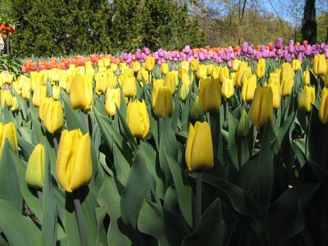 Tulips of the Keukenhof Flower Fields in Lisse, Holland