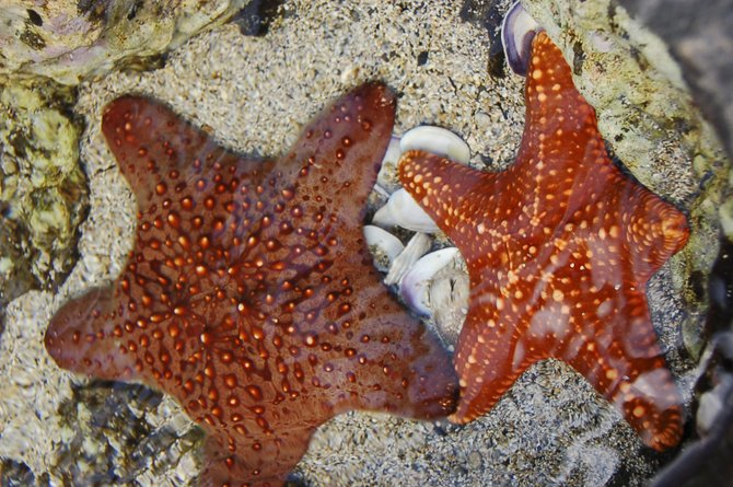 Maui Ocean Center Starfish