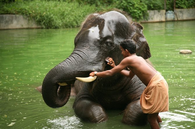 Taken at an Elephant Sanctuary, this 10 year old elephant was getting its daily elephant bath. He seemed to enjoy it. The state Kerala in India is known for its lush green tropical forests and its Wild and Tamed elephants. This elephant sanctuary has over 60 elephants in a parking lot space and each elephant has its own trainer.