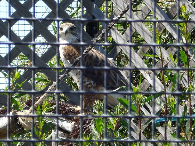 Hawk at Chula Vista Nature Center.