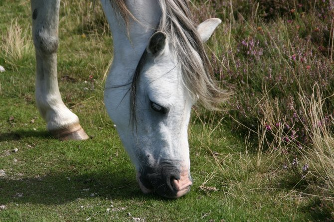 Closeup of a horse's head in rural Rhossili, the Gower, Wales, UK