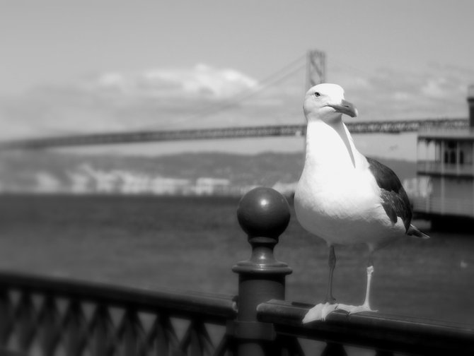 A seagull basking in the sun on San Francisco Pier