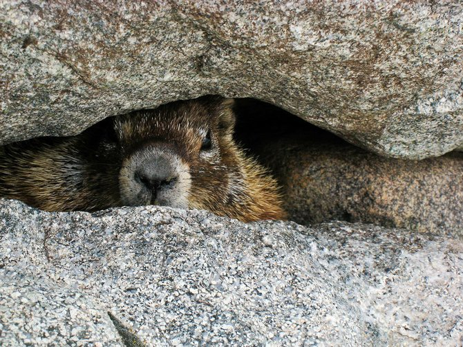 A marmot warily taking refuge in the safety of a crevice, Wind River Mountains, Wyoming.