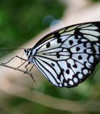 Paper Kite Butterfly at the SD Wild Animal Park.
