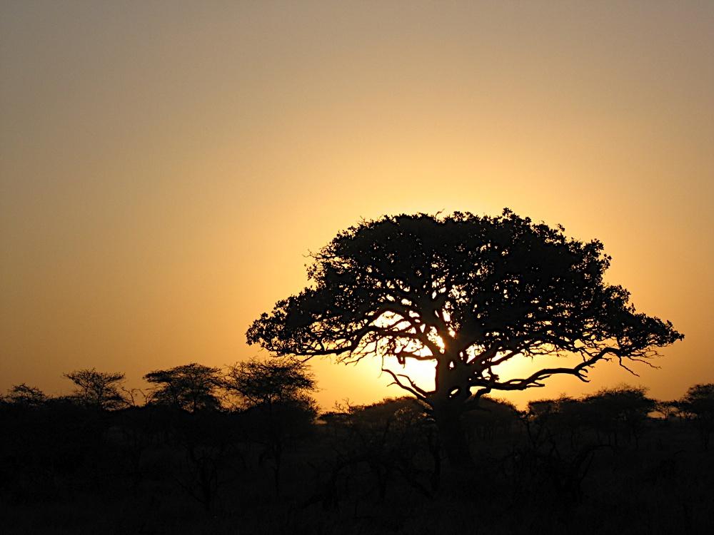 Sunset behind a baobab tree in the Masai Mara, Kenya.