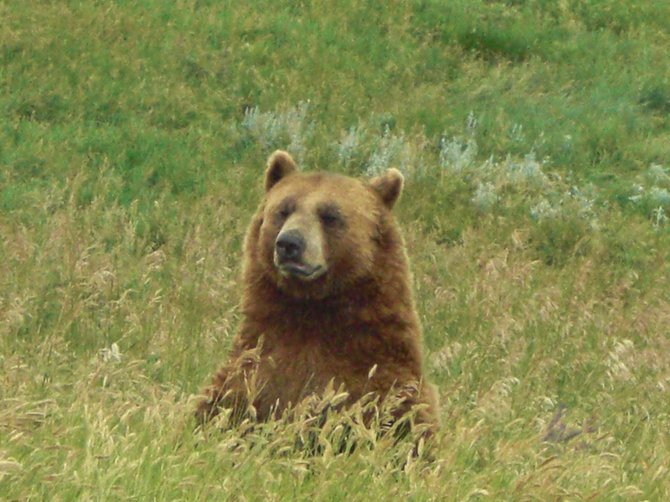 This photo was taken of a grizzly bear at a drive through wildlife park called Bear Country USA in the Black Hills of South Dakota, and is located not too far from MT. Rushmore.