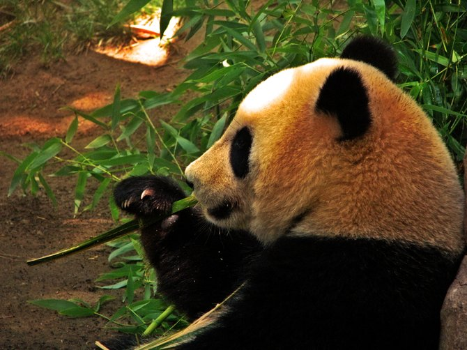 One of the Pandas at the San Diego Zoo.