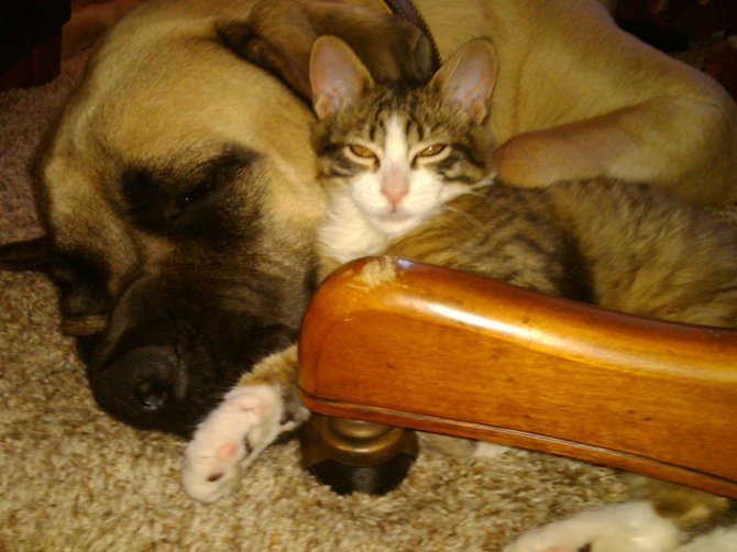 Bruce (1 year old English mastiff) and Jack (10 week old kitten), despite the 175 lbs difference, they love each others company any and all the time.