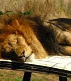Lion caught sleeping